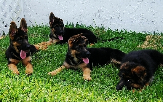 Show line german shepherd puppies for sale